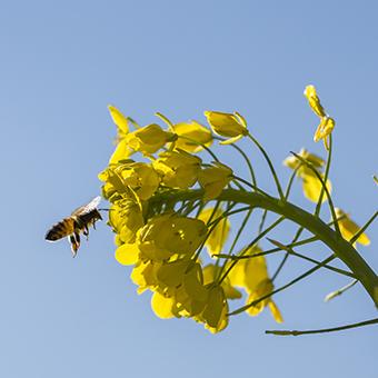 FB 9 菜の花に蜜蜂 .jpg