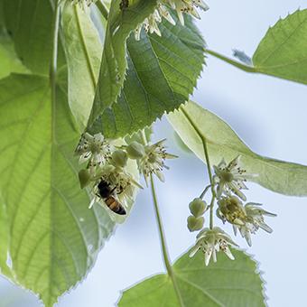 FB 12 青ジナの蜜を採る蜜蜂 .jpg