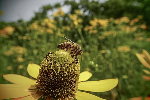 Web 50 オオハンゴンソウの花蜜を吸う蜜蜂 .jpg