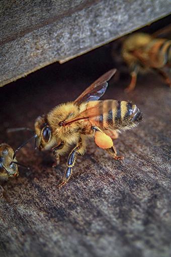 Web 54 奄美 花粉を運んできた蜂 .jpg