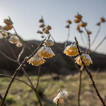 Web ミツマタの花 .jpg